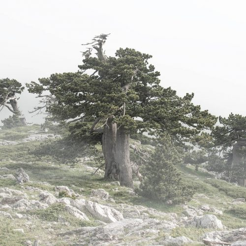 young hearts of ancient trees -130x90 - #1